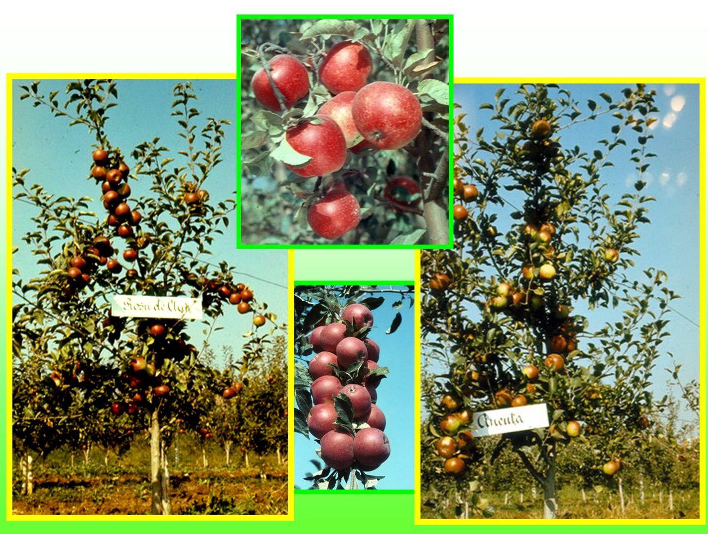 Apple cultivars created by Prof. Stefan Oprea