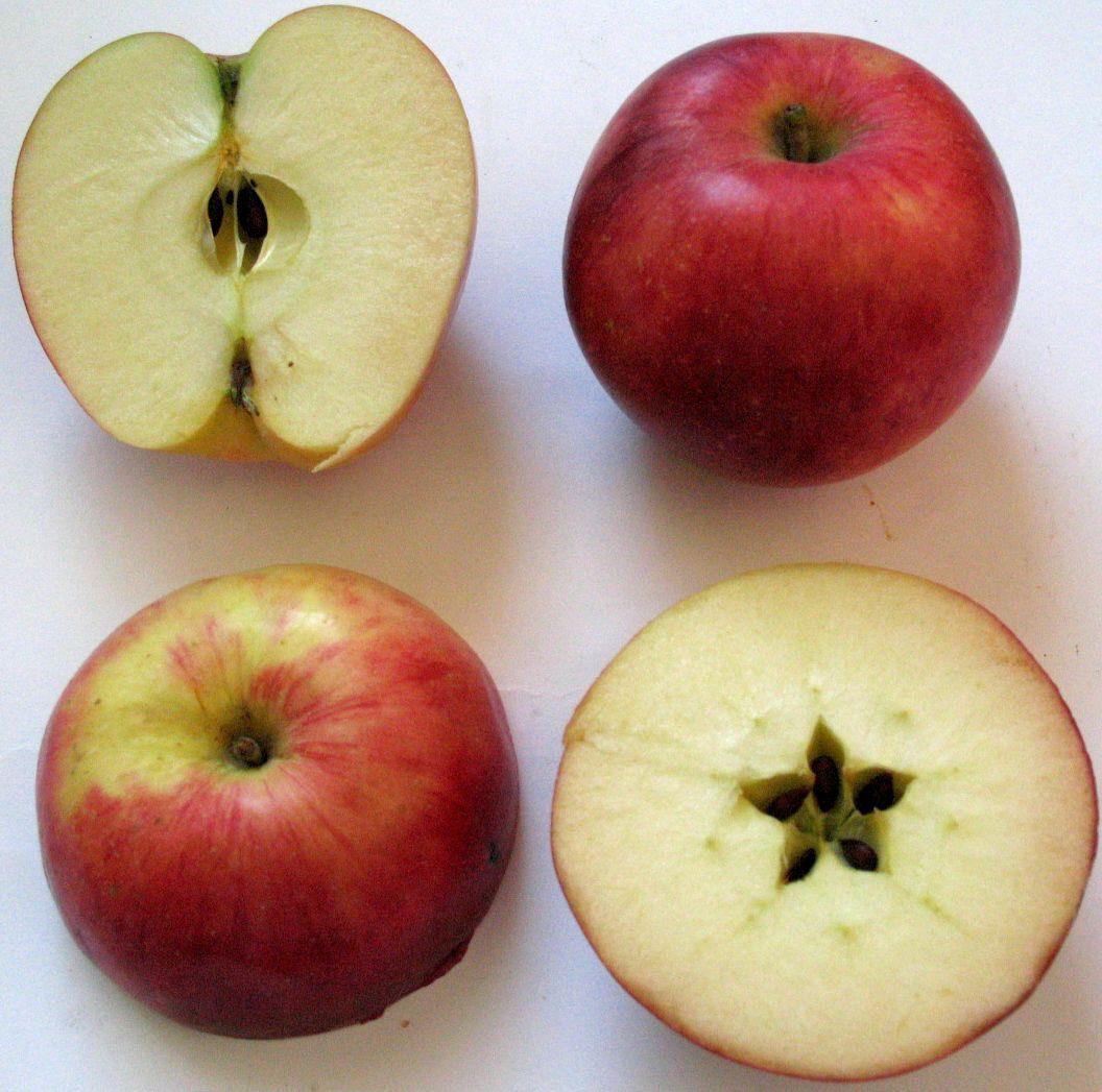 Apple cv Estival dr Sestras 2