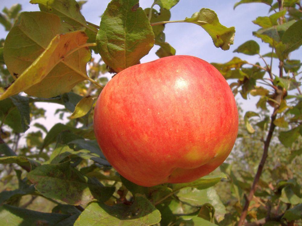 Apple cv Precoce de Ardeal dr Sestras 2