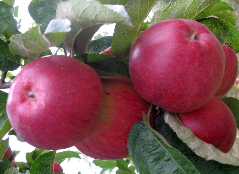 Apple cv Productiv de Cluj dr Sestras 3