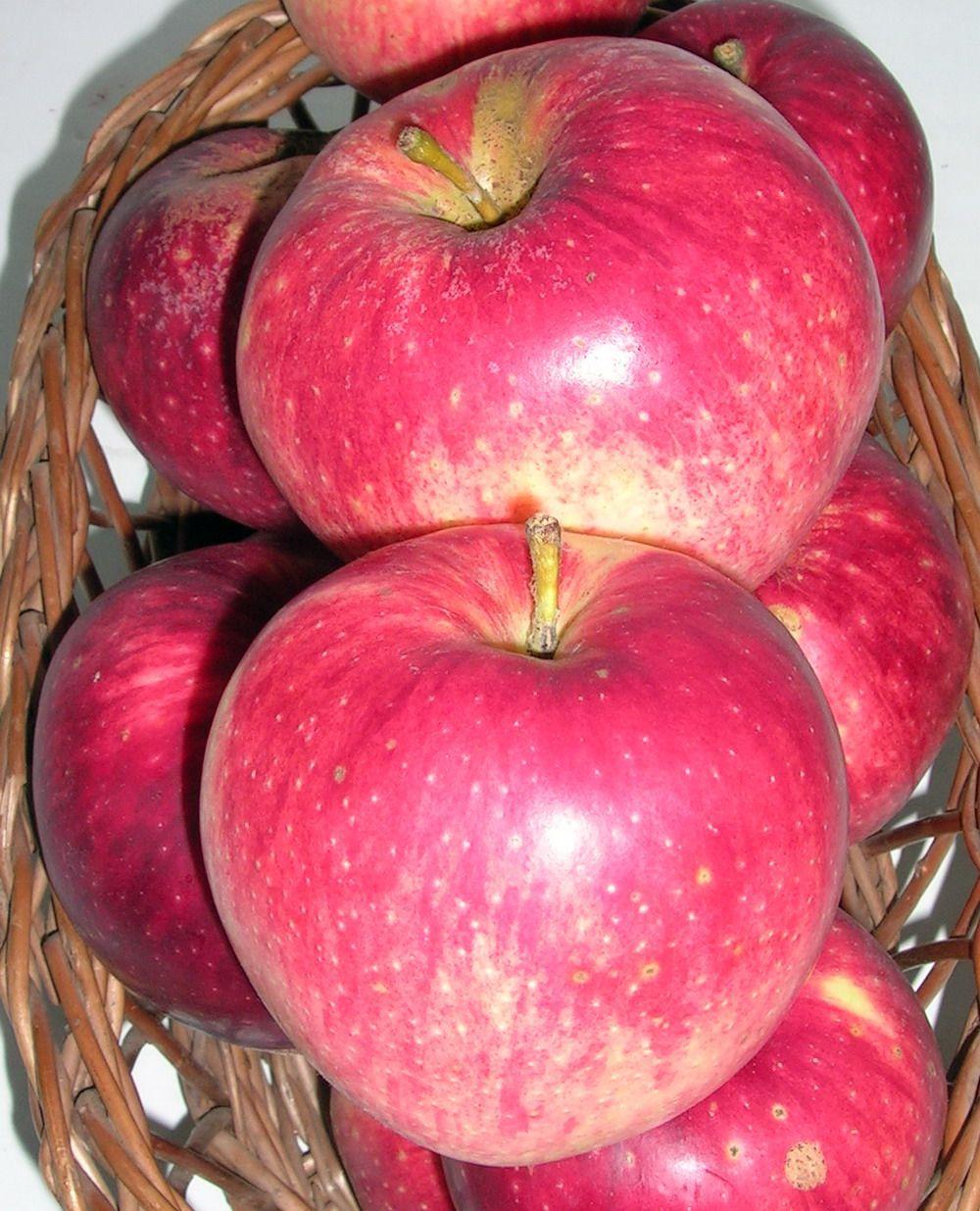 Apple cv Productiv de Cluj dr Sestras 4