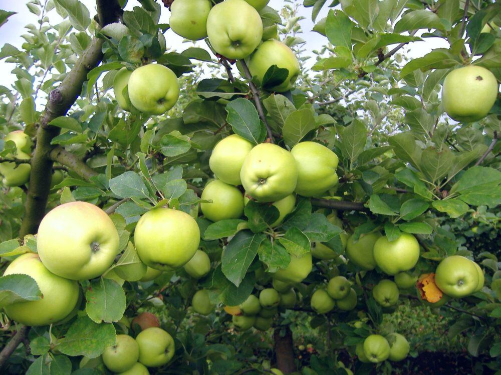 Auriu de Cluj cv apple Sestras 1