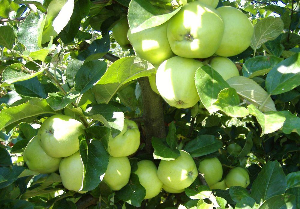 Auriu de Cluj cv apple Sestras 2