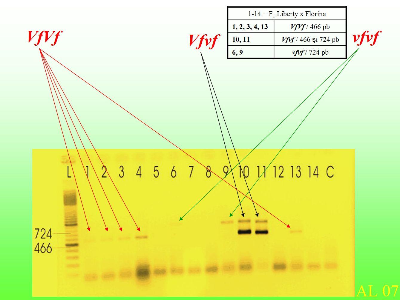 MAS selection - BSA apple breeding Cluj, Vf gene